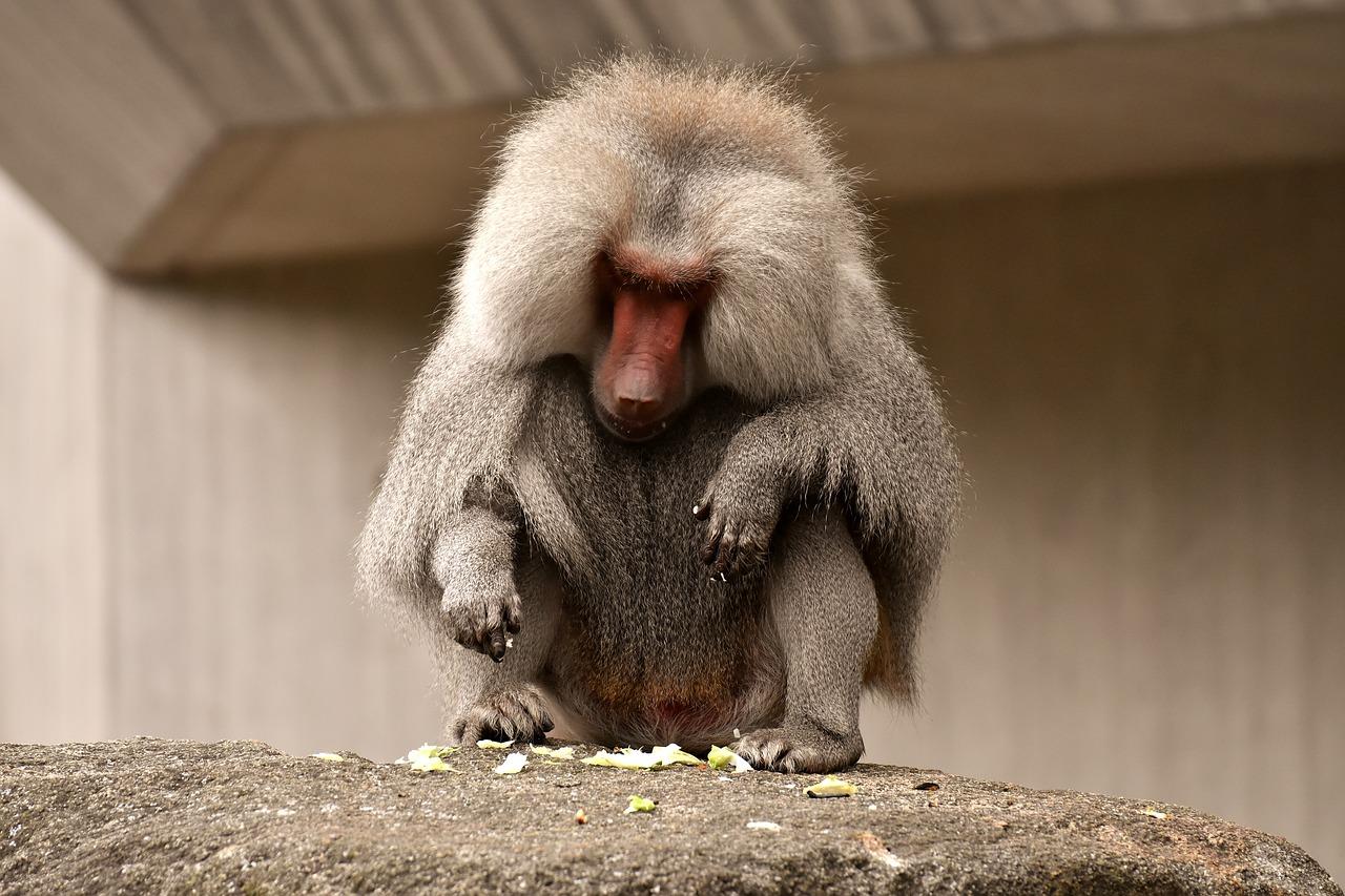 Monkey Species found in Belize