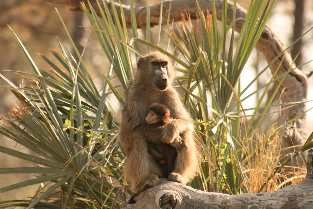 How do baby baboons live